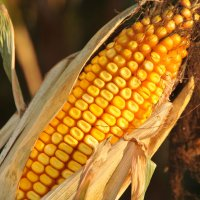 Corn and Ethanol – Fueling a Future Together